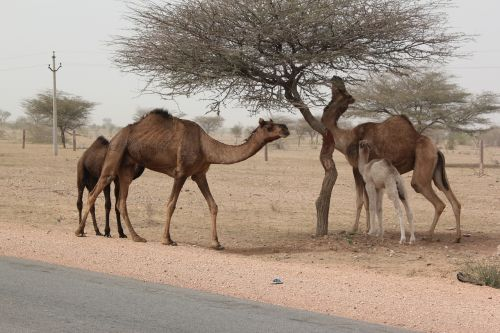 india camels desert