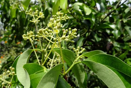 indian bay leaf cinnamon cinnamomum tamala