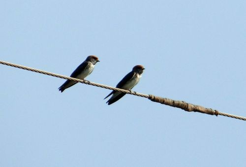 indian cliff swallow bird swallow