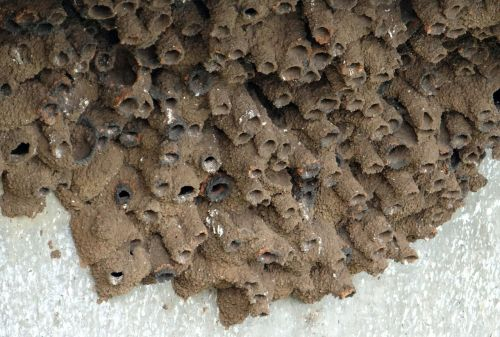 indian cliff swallow nest mud