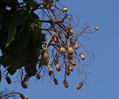 indian copal malabar tallow piney varnish