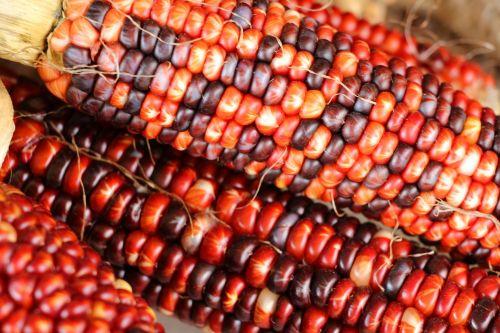 Indian Corn 3