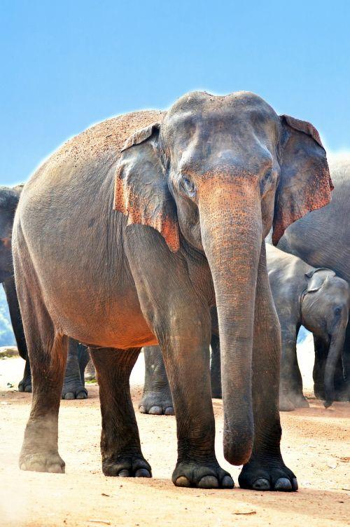 indian elephant elephant jumbo
