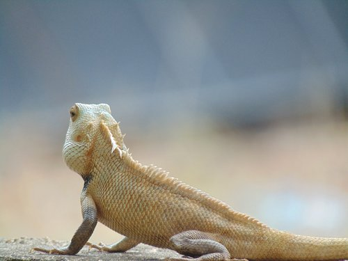 indian garden lizard  green  nature