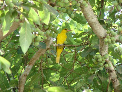 indian golden oriole bird dharwad