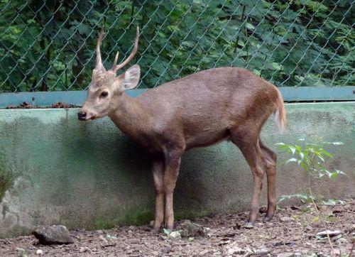 Indijos šunų elniai,Hyelaphus porcinus,elnias,gyvūnas,kankinti,laukinis gyvūnas,laukinis gyvenimas,fauna,veislės elniai,kanopas,žinduolis,žinduoliai,rajkot,Indija