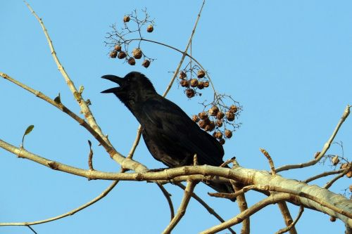 indian jungle crow corvus macrorhynchos large-billed crow