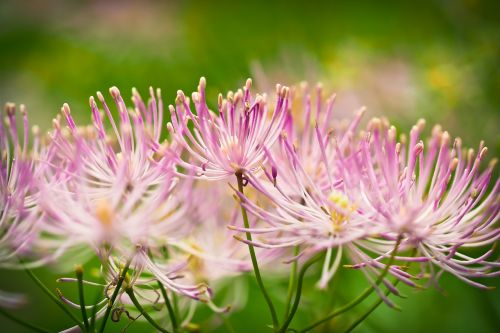 Indijos dilgėlė,gėlė,žiedas,žydėti,augalas,gamta,raudona,dilgėlė,laukinė gėlė,vaistinis augalas,pasėlių,laukinis augalas,žiedynas,sodo augalas,dekoratyvinis augalas,Uždaryti,makro,krūmas,sodas,gamtos fotografija,žydėti,vasara,violetinė