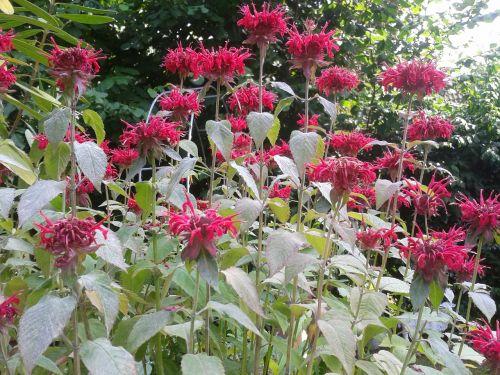 indian nettle nettle flowers
