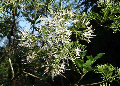 indian pavetta pavetta indica rubiaceae