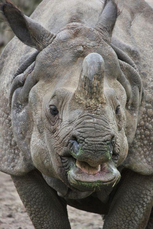 indian rhinoceros rhino zoo