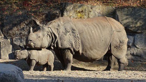 indian rhinoceros  animals  mammalia
