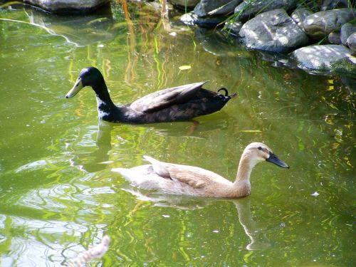 indian runner ducks black and light brown ducks birds