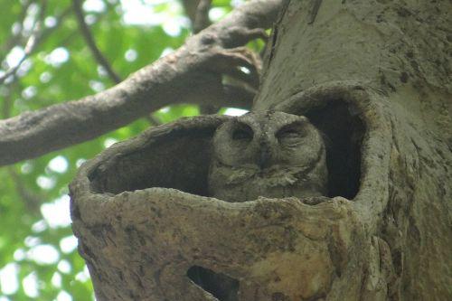 indian scops owl otus bakkamoena owl