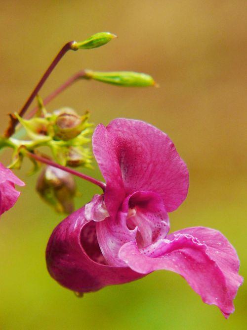 indian springkraut himalayan balsam annual