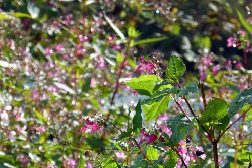 indian springkraut blossom bloom