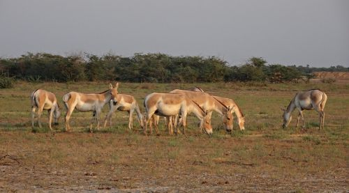 indian wild ass equus hemionus khur ghudkhur
