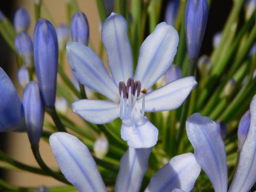 indigo flower blue