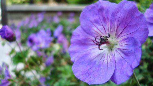 indigo flower garden