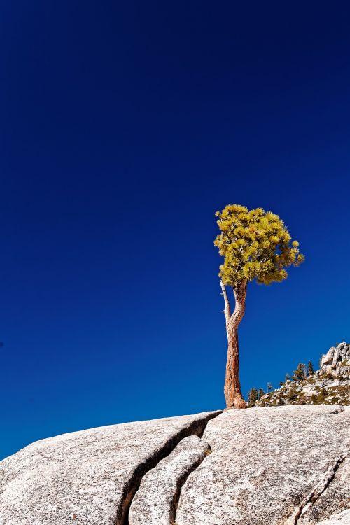 individual tree california