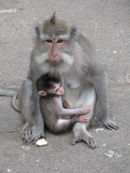 monkey baby monkey macaque