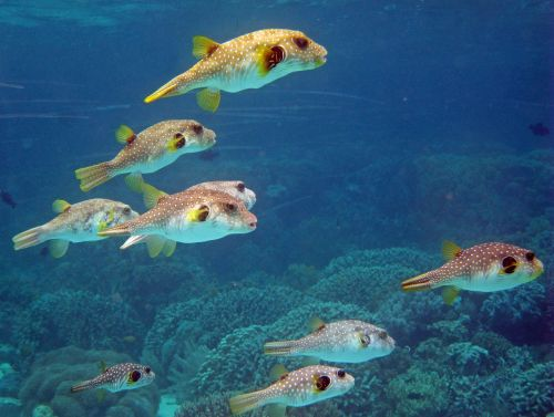 indonesia,underwater,coral,reef,diving,scuba,puffer fish