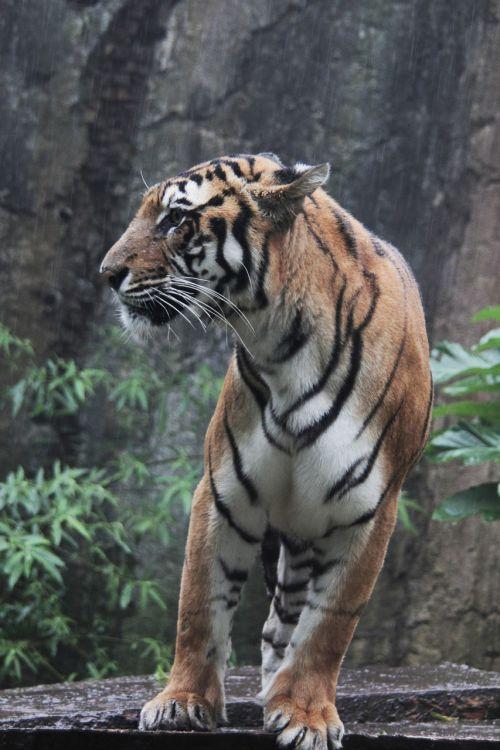 indonesia tiger panthera