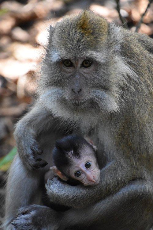 indonesia  monkey  motherhood