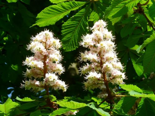 inflorescence blossom bloom
