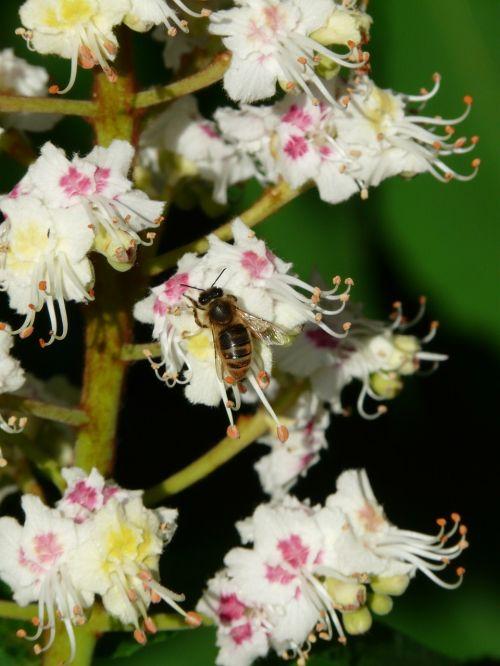 inflorescence bee tree