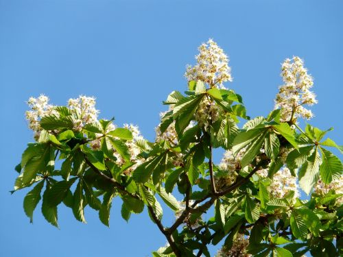 inflorescence tree leaves