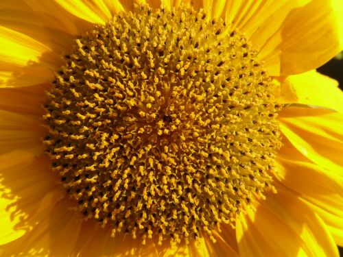 inflorescence flower basket tongue flower