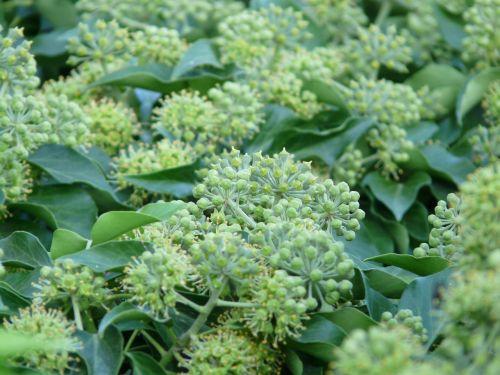 inflorescences ivy common ivy