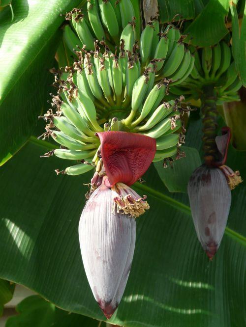 inflorescences banana trees bananas