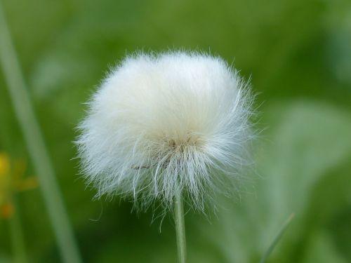 infructescence scheuchzers cottongrass eriophorum scheuchzeri