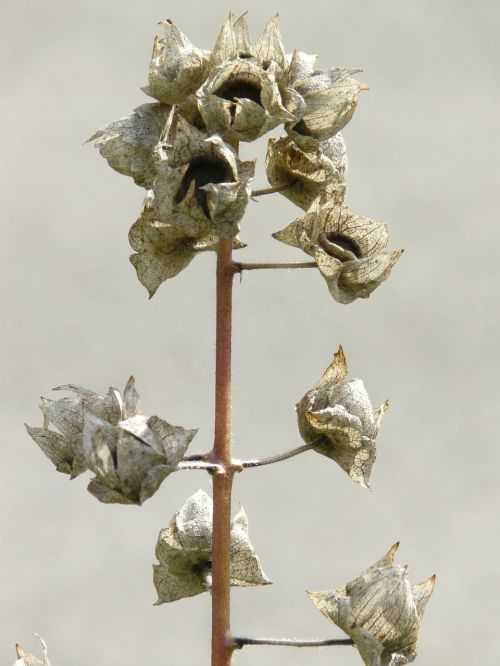 infructescence seeds grey