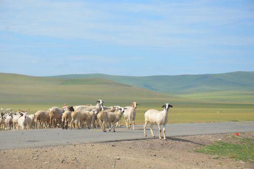inner mongolia the flock