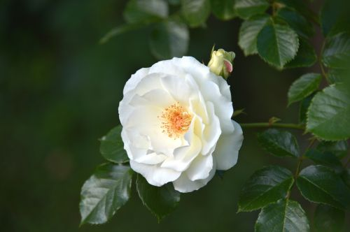 inner wheel rose inner wheel white rose