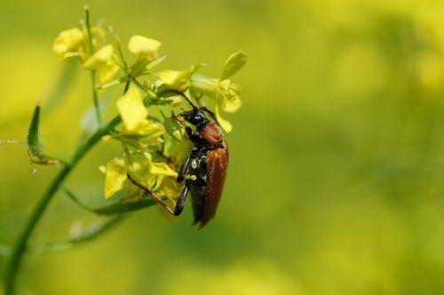 insect beetle neck-beetle