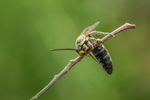 wasp hornet insect