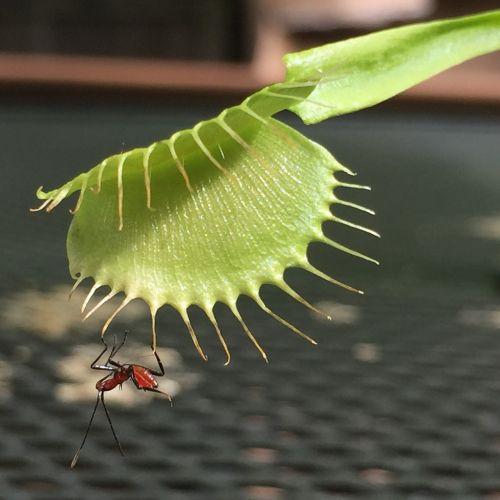 vabzdys,venos skristi gaudyklė,augalas