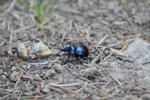 insect natural beetle
