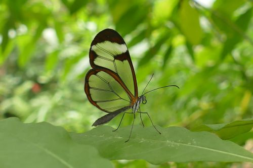 glass wing butterfly insect butterfly transparent