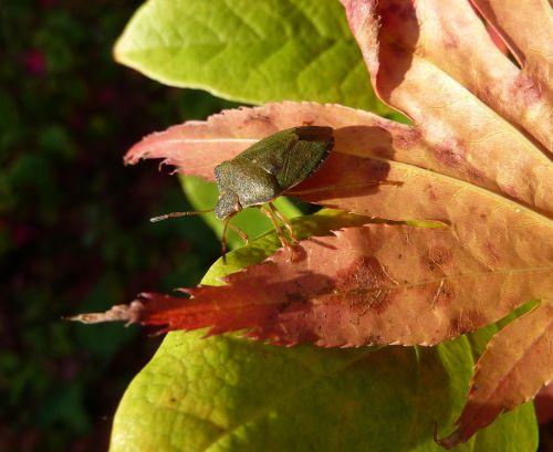 insect bug shield bug