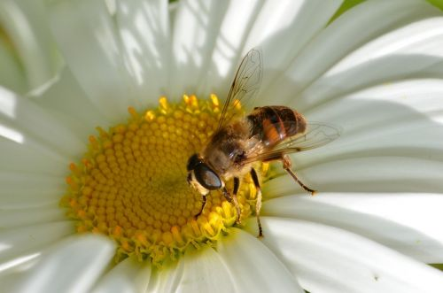 insect hoverfly pollinator
