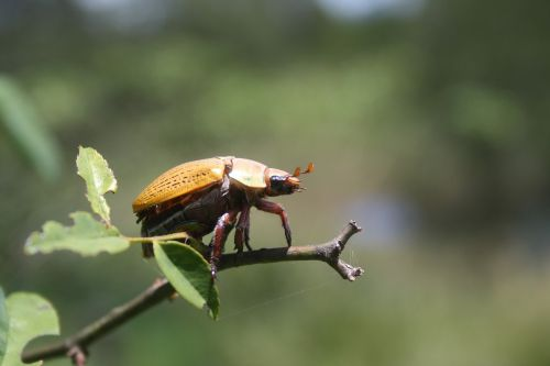 insect beetle wildlife
