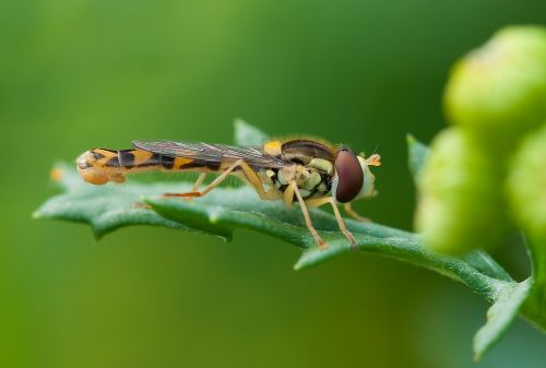 insect hoverfly summer