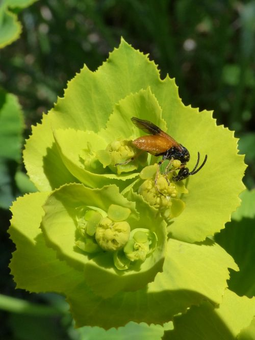 insect false bee libar