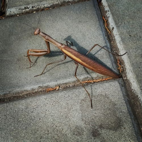 insect praying mantis crimea