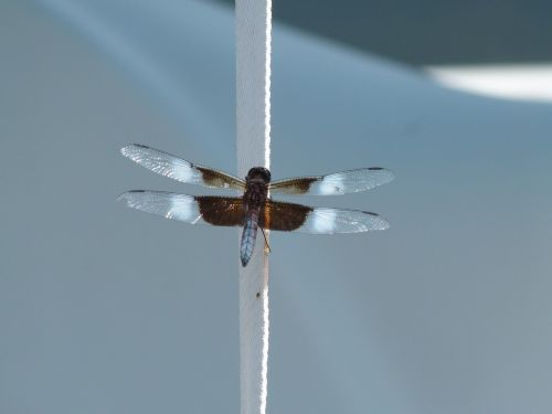insect dragonfly water bug